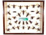 ★オオスズメバチ標本箱一式★